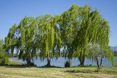 stock photo of weeping willow tree  - Babylonica or Weeping willow Salix - JPG