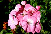 picture of herbacious  - pink geranium flowers in full bloom during the day - JPG