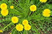 stock photo of naturopathy  - Dandelion - JPG