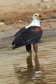 stock photo of fish-eagle  - Fish eagle in the Chobe River Botswana - JPG