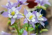 image of columbine  - Columbines blooming fresh in the springtime - JPG