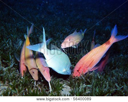 Goatfish feeding