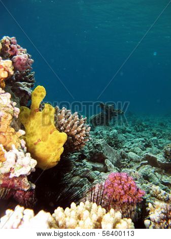 Frogfish and reef