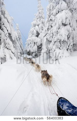 sledge dogging, Sedivacek''s long, Czech Republic