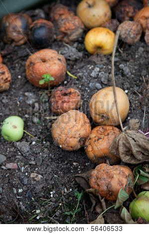 Old Rotten Apples On The Ground