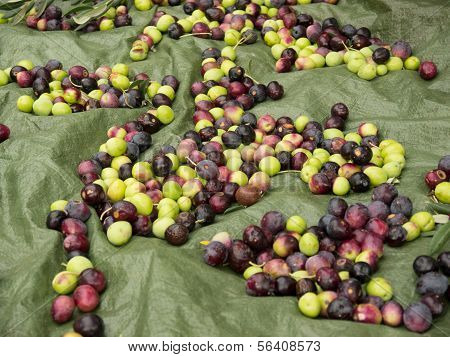 Fresh Ripe Olives