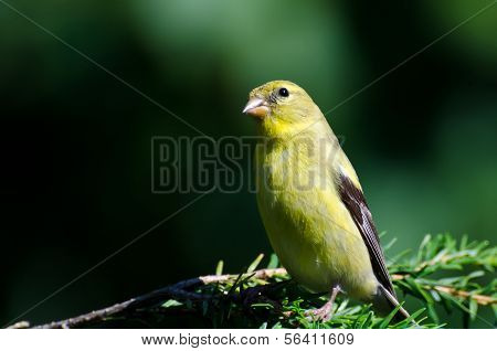 Female American Goldfinch Perched In An Evergreen