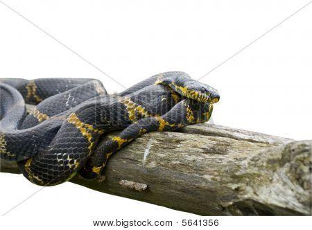 Snake (elaphe Schrenckii)