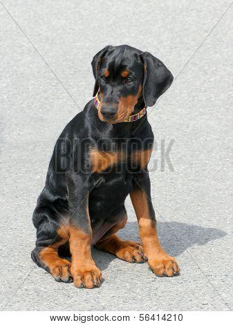Typical Dobermann Puppy