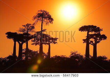 Silhouettes of baobabs over sunrise sky. Madagascar