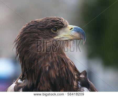 Forbidding Eagle