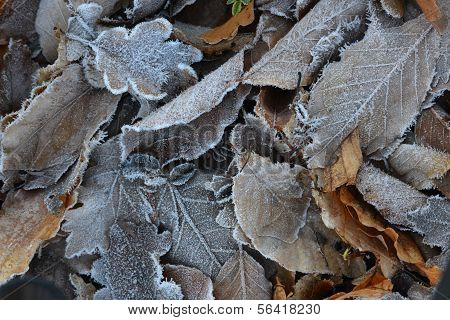 Frozen Leaves Background