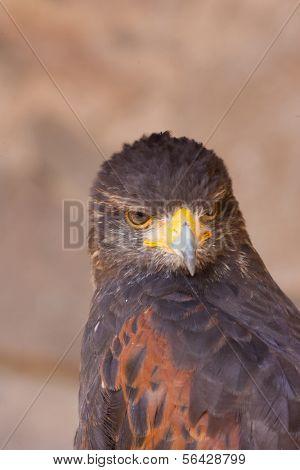 A beautiful closeup of a falcon
