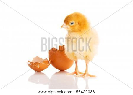 Small yellow chick with egg. Isolated on white.