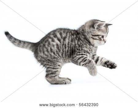hunting or catching british gray kitten