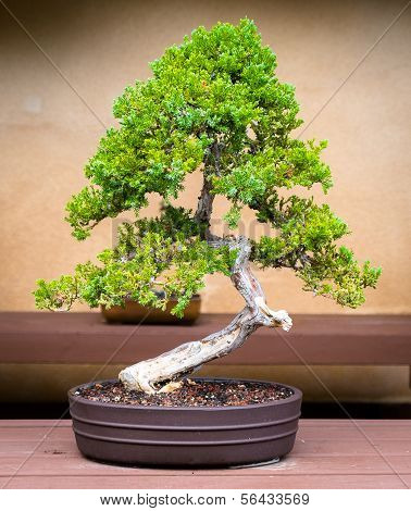 Bonsai Jacaranda Tree on a Table
