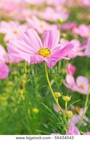 Cosmos Pink Flower