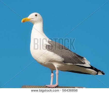 Seagull at the Beach