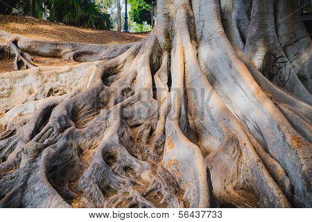 Banyan Tree Roots at Balboa Park San Diego, California