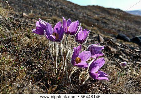 Spring Flowers In The Tundra Of Chukotka. Pulsatilla Vulgaris