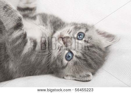 Light Gray Striped Cat