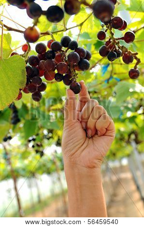 Grapes Of Black