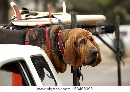Red Dog In Car