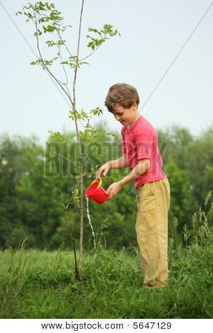 Boy  Pours On Seedling Of  Tree