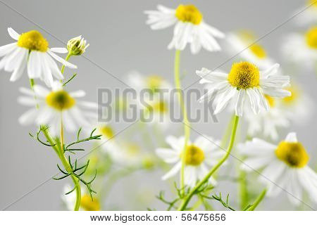 German chamomile flowers