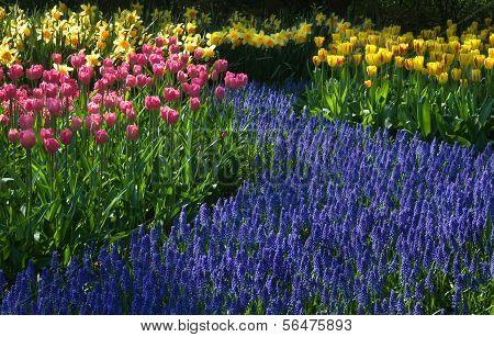 Common Grape Hyacinth, Daffodils And Tulips