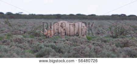 Black (hooked-lipped) Rhinoceros (diceros Bicornis)