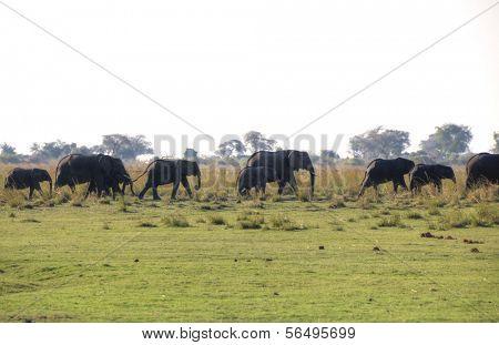 Elephants in Chobe National Park, Botswana, Africa