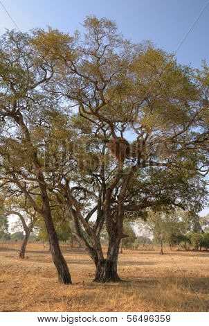 Tree in South Luangwa National Park, Zambia, Africa