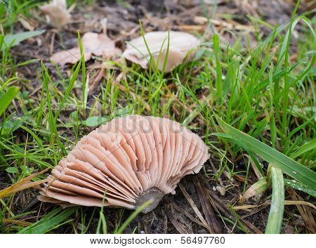 The Gills Of An Agaricus Campestris Or Field Mushroom