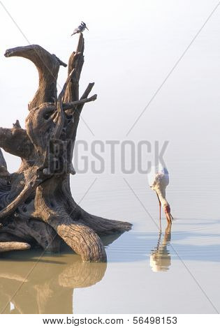 Flamingo standing in water in South Luangwa National Park, Zambia, Africa