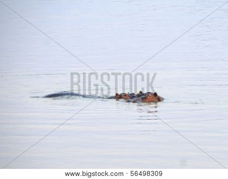 Hippo swimming in South Luangwa National Park, Zambia, Africa