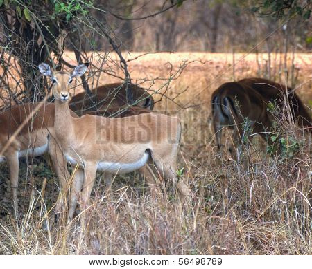 Springboks walking in South Luangwa National Park, Zambia, Africa