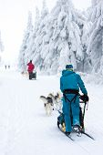 stock photo of sled dog  - sledge dogging - JPG