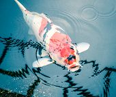 picture of fish pond  - Koi Fish in a Nature Pond - JPG