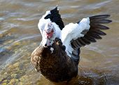 picture of barbary duck  - black and white bird with pink bill and red wattles - JPG