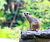 stock photo of meerkats  - Meerkat in the zoo in Bangkok  - JPG