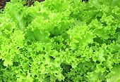 Background Of Corrugated Leaves Of The Lettuce