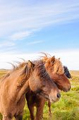 foto of iceland farm  - The Icelandic horse is a breed of horse developed in Iceland - JPG