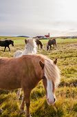 stock photo of iceland farm  - The Icelandic horse is a breed of horse developed in Iceland