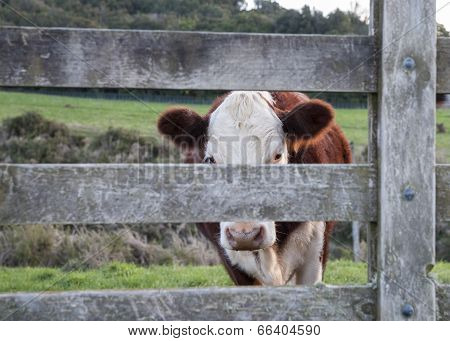 Cattle beast peering through gate.