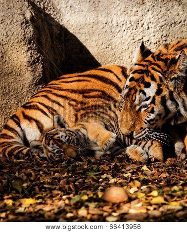 Tiger Mum