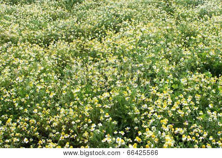 Background of  chamomile
