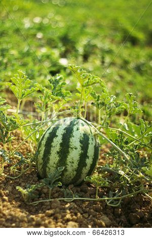 Water melon at green field