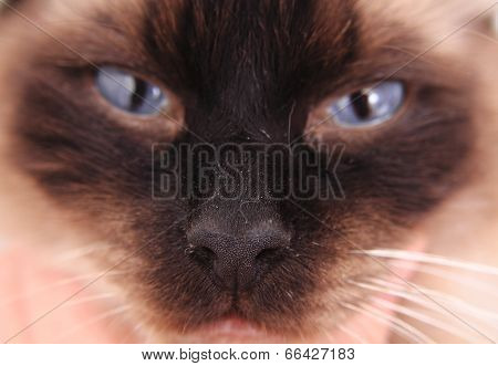 Ragdoll Cat Face With Blue Eyes