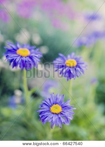 Summer garden - Aster flowers in the garden